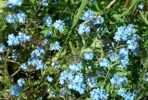 Forget-me-nots - tiny light blue flowers that bloom annually in early spring